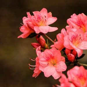 Azaleas & Rhododendrons 100 Hours Course - ADL - Academy for Distance Learning