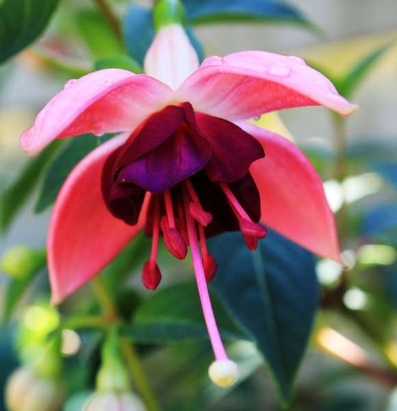 Fuchsias 100 Hours Course - ADL - Academy for Distance Learning