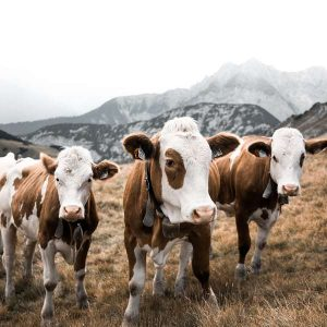 Beef Cattle 100 Hours Certificate Course - ADL - Academy for Distance Learning