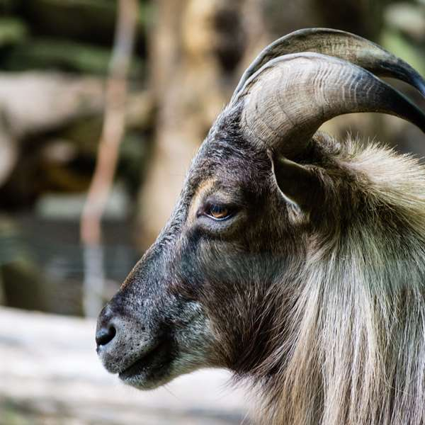 Goat Farming 100 Hours Certificate Course - ADL - Academy for Distance Learning