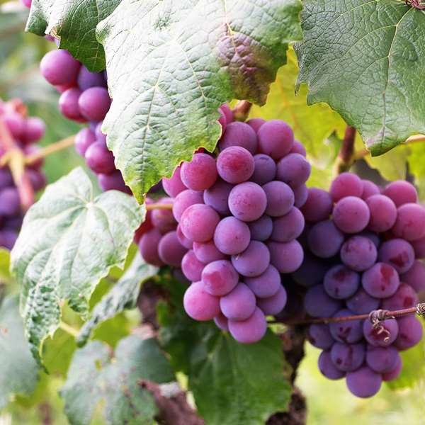 Viticulture 100 Hours Certificate Course - ADL - Academy for Distance Learning