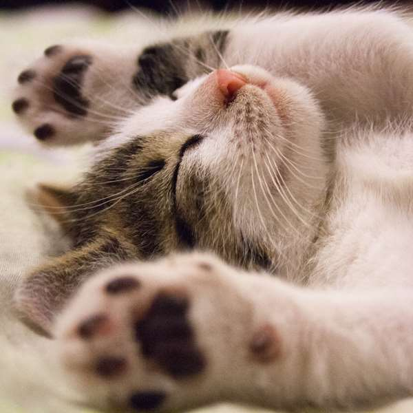 Domestic Cat Care 100 Hours Certificate Course - ADL - Academy for Distance Learning