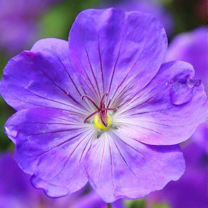 African Violets 100 Hours Course - ADL - Academy for Distance Learning