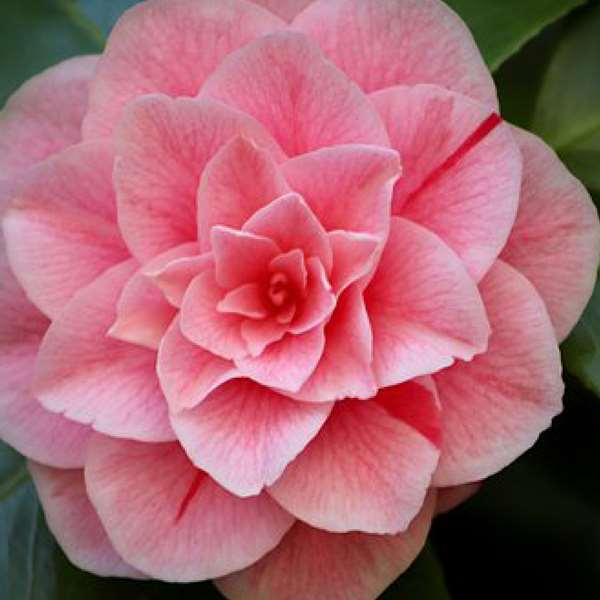 Growing Camellias 100 Hours Course - ADL - Academy for Distance Learning