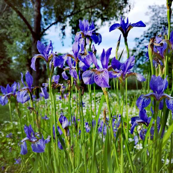 Growing Iris 100 Hours Course - ADL - Academy for Distance Learning