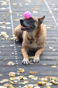 A dog with a ball on its head doing a trick